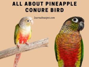All about pineapple conure bird