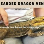 Bearded Dragon Vent : 9 Interesting Facts On Beardie Vents