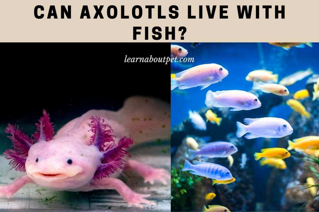 Can axolotls live with fish