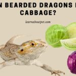 Can Bearded Dragons Eat Cabbage? (9 Interesting Facts)