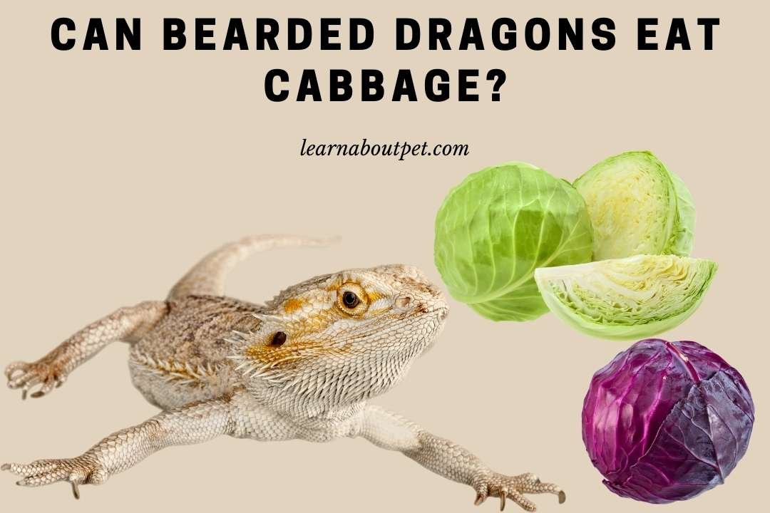Can bearded dragons eat cabbage