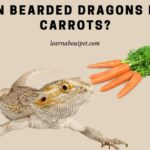 Can Bearded Dragons Eat Carrots? 7 Menacing Symptoms Of Over Eating Carrots