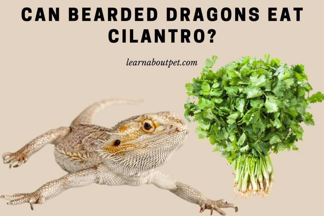 Can bearded dragons eat cilantro