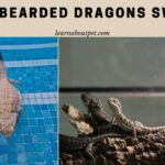 Can Bearded Dragons Swim? (15 Surprisingly Shocking Facts)