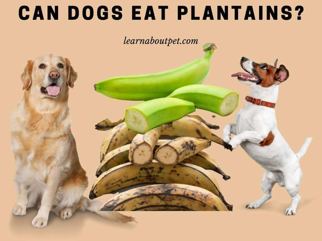 Can dogs eat plantains - my dog ate plantains - can dogs have plantains
