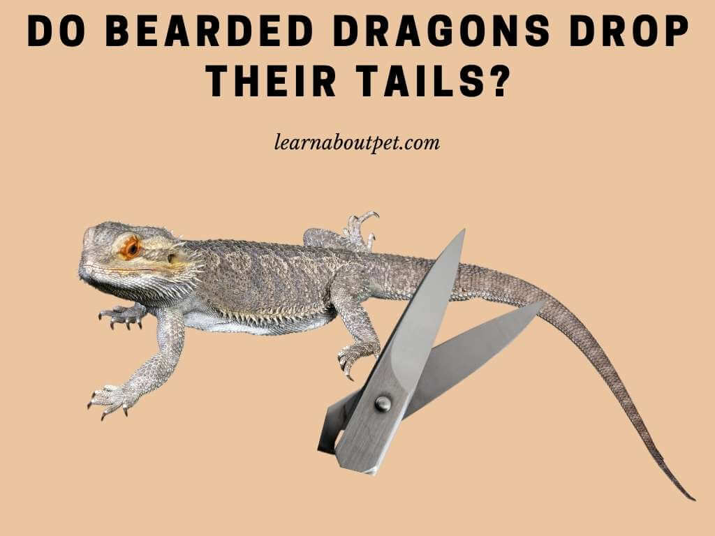 Do bearded dragons drop their tails