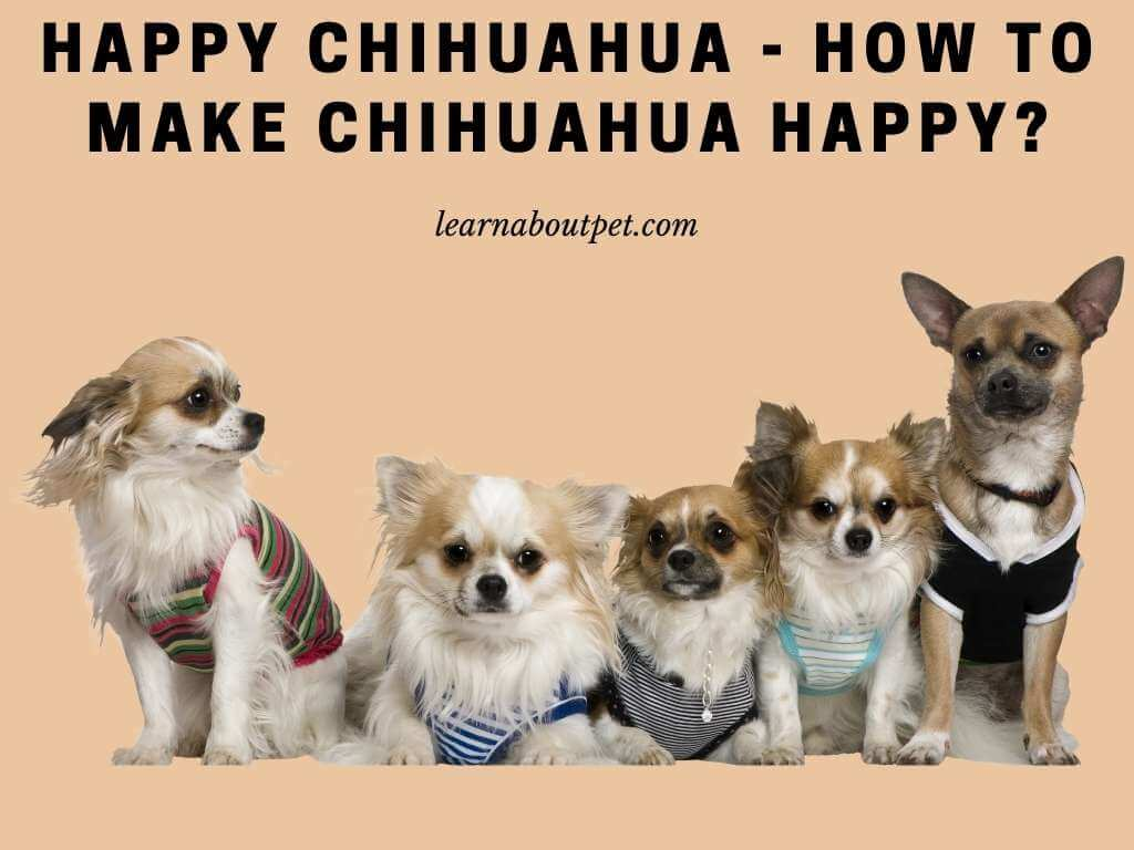 Happy chihuahua - how do i know if my chihuahua is happy - how to make a chihuahua love you