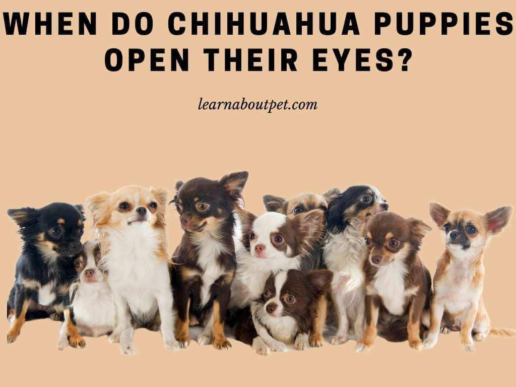 When do chihuahua puppies open their eyes - chihuahua eyes