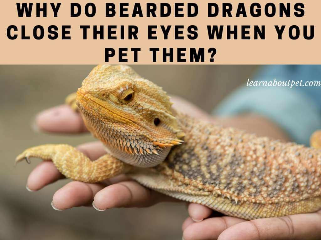 Why do bearded dragons close their eyes when you pet them