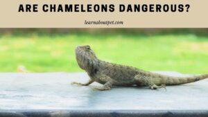 Are chameleons dangerous