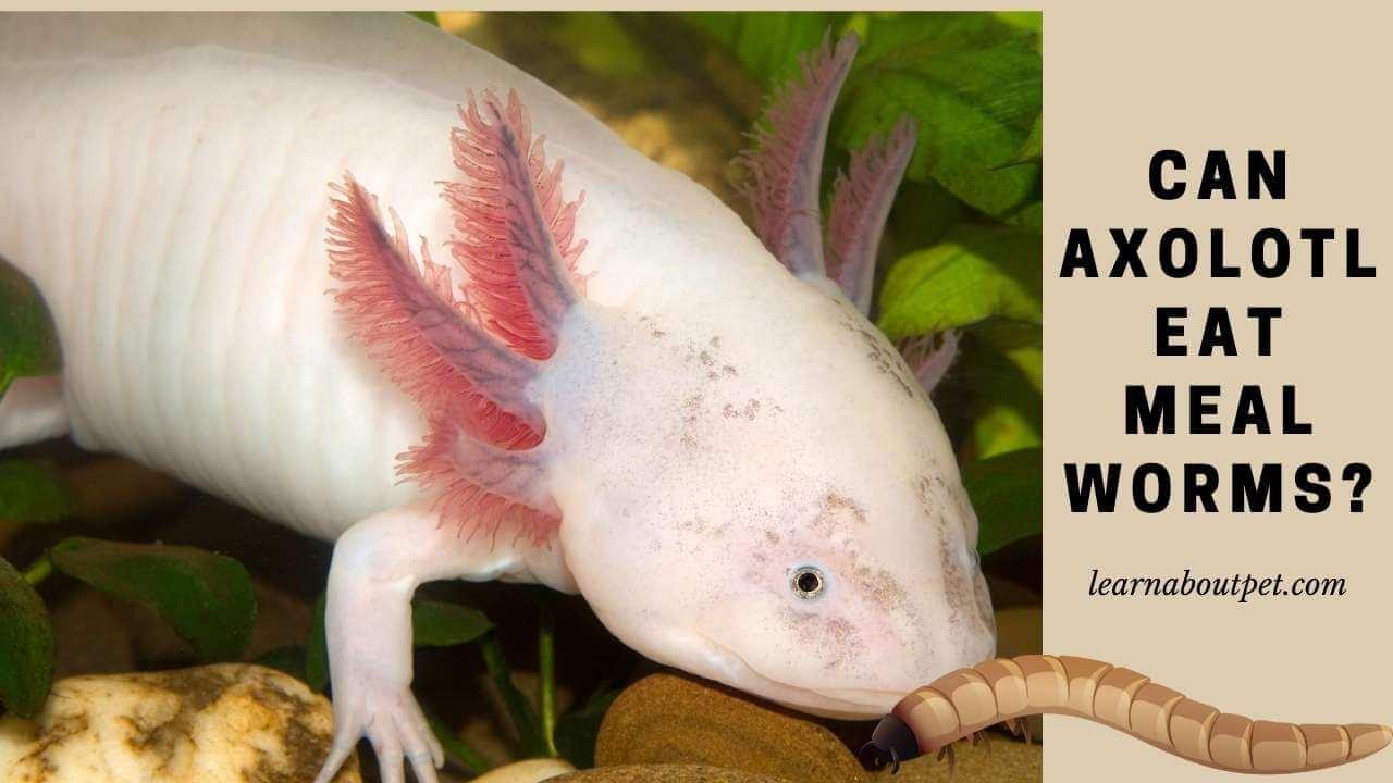 Can axolotl eat mealworms