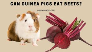 Can guinea pigs eat beets
