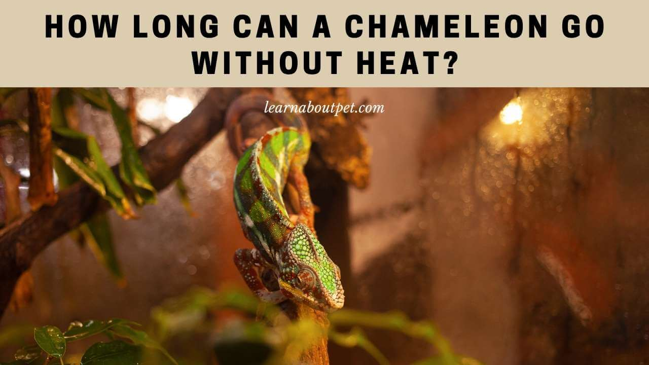 How long can a chameleon go without heat