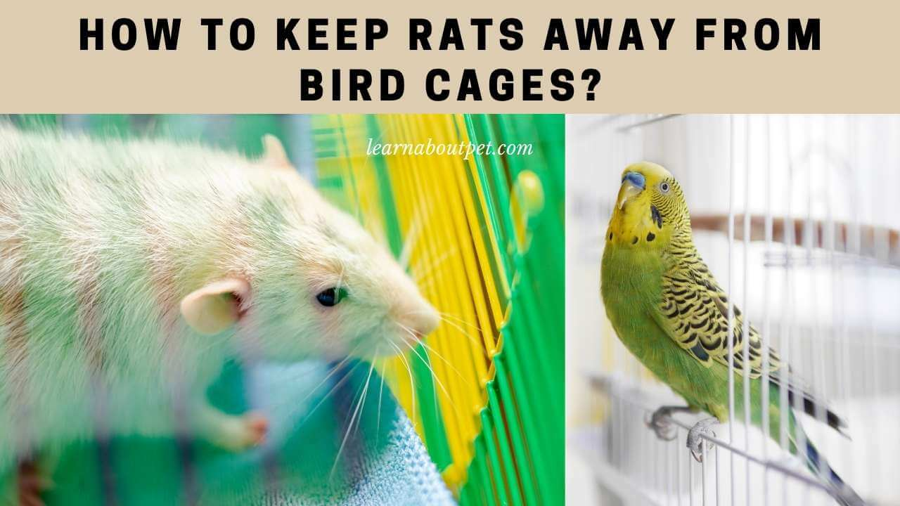 How to keep rats away from bird cages