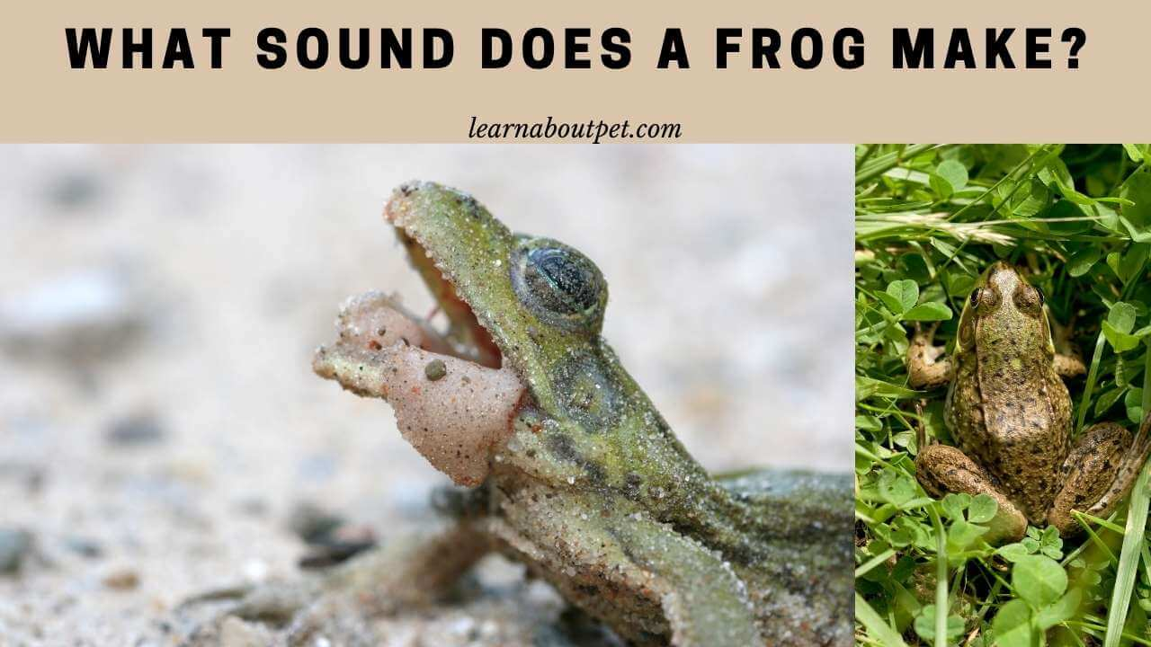 What sound does a frog make