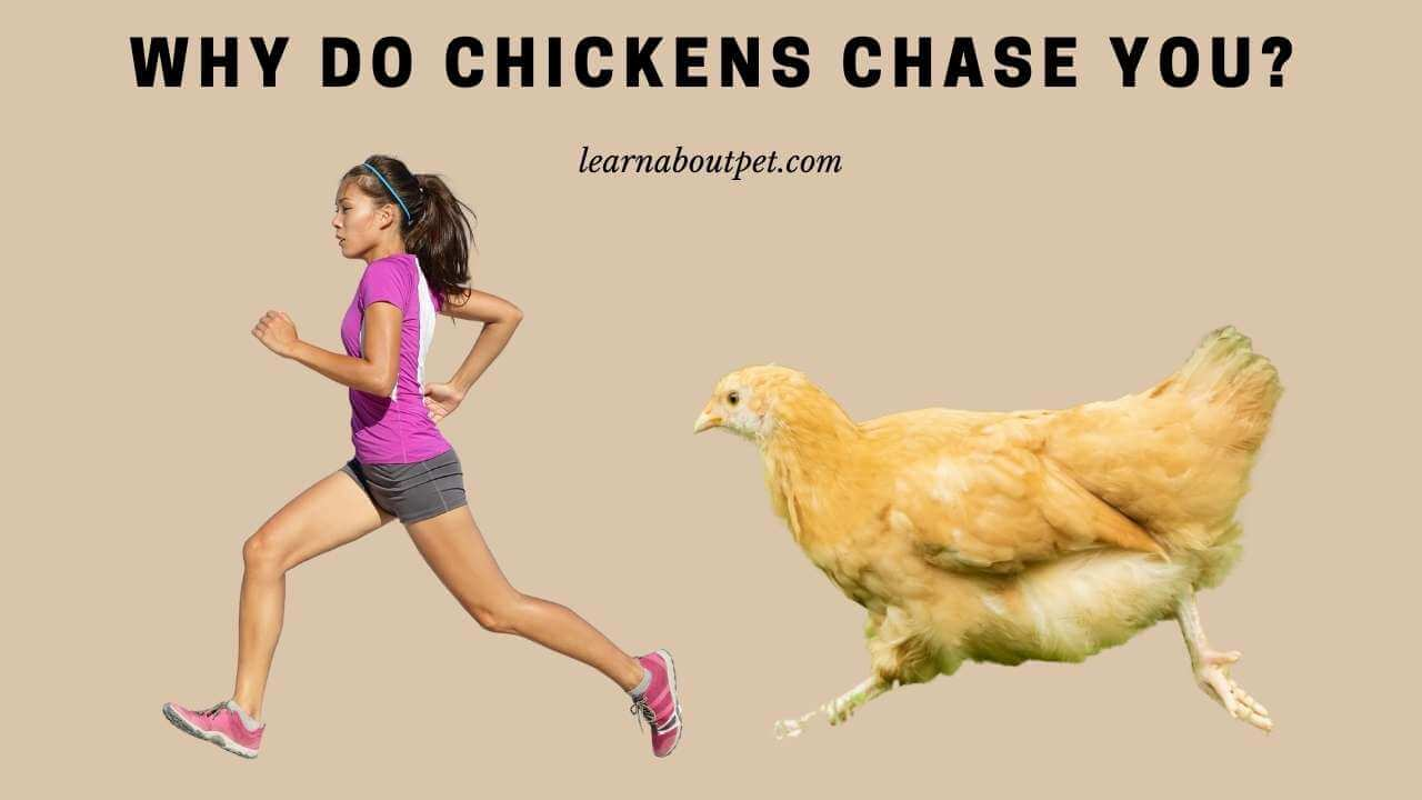 Why do chickens chase you