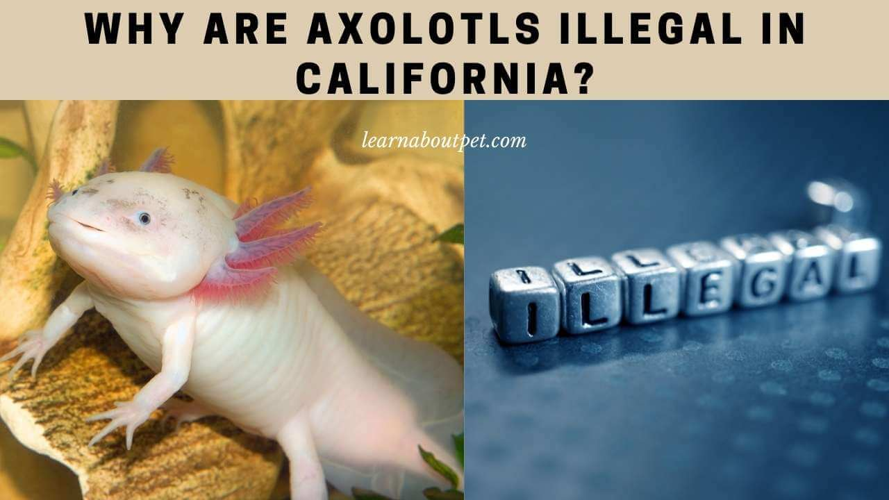 Why are axolotls illegal in california