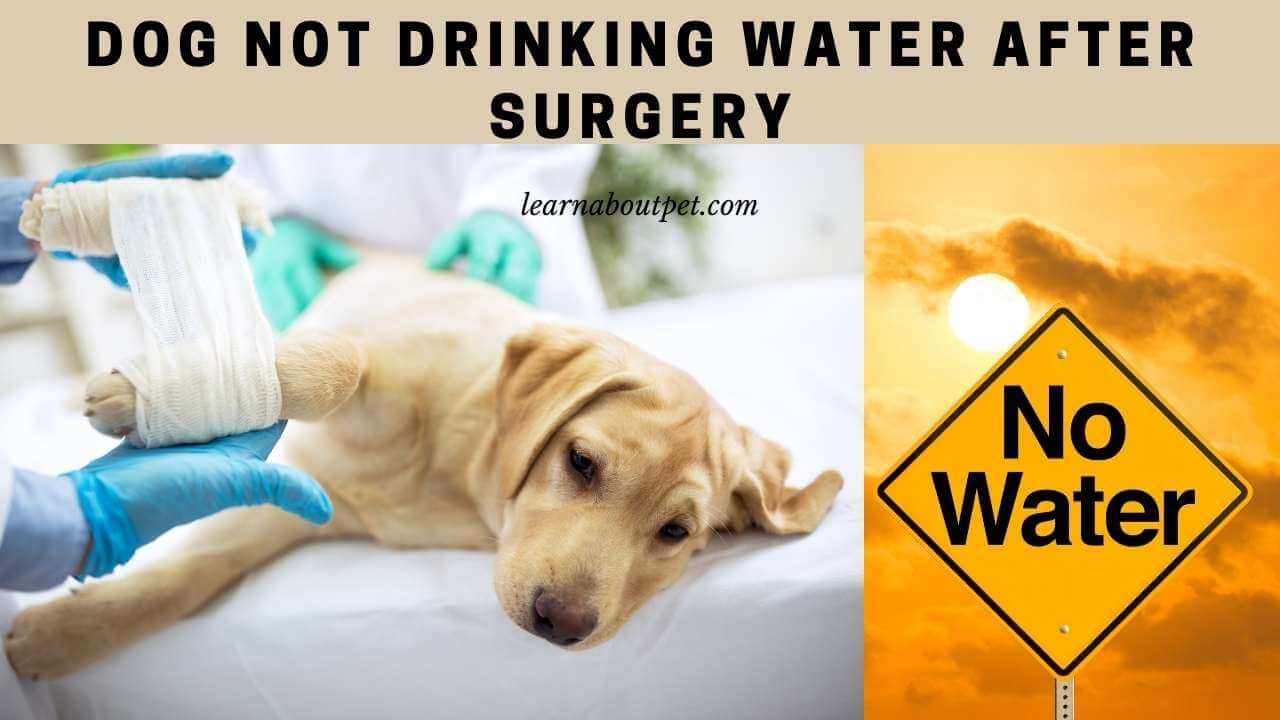 Dog not drinking water after surgery